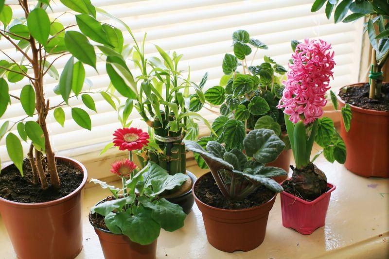 Trujące rośliny doniczkowe – czy masz je w swoim domu?
