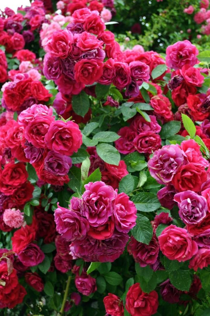 R 243 że Okrywowe Rośliny Uniwersalne Odporne I Długo